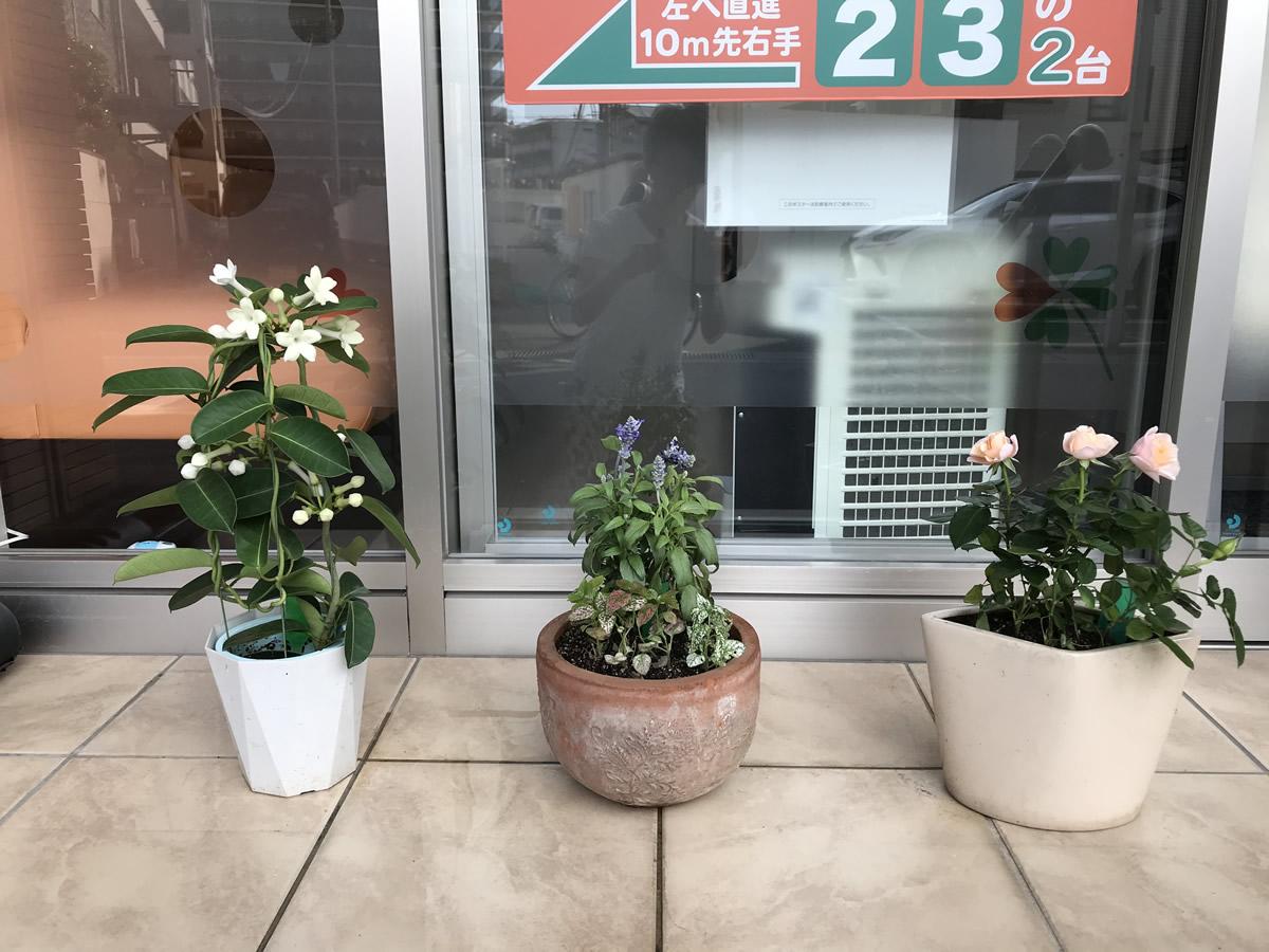 ジャスミン、イングリッシュラベンダーとコリウスの寄植、淡いピンクのミニバラ
