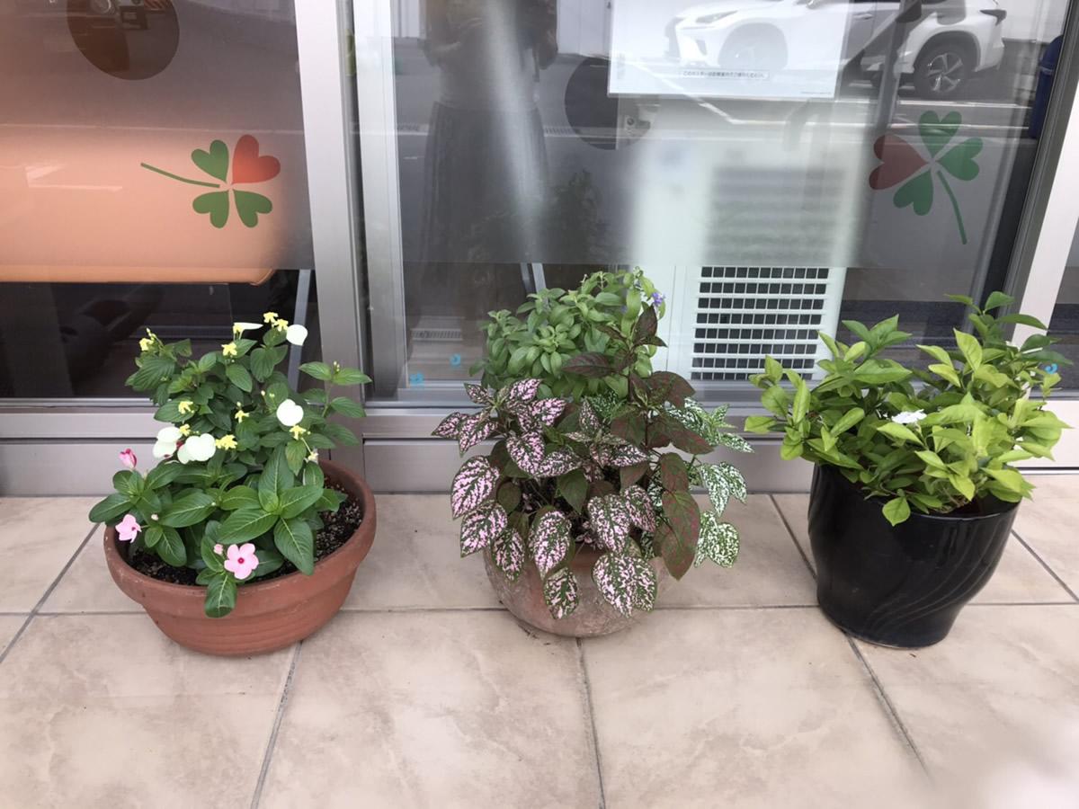 入口前 - 右からニオイバンマツリ、紫蘇科の紫の花とコリウス、ハンカチの花