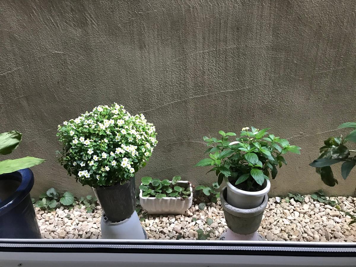 1階左チェア前 - 白のエキザカムと白いハンカチ草