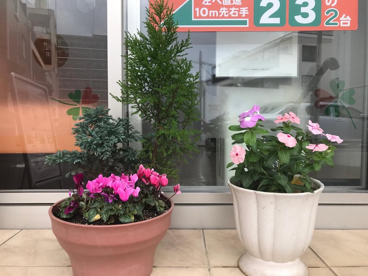 入口前 - ピンク濃淡の日々草と 3色のガーデンシクラメンの寄植