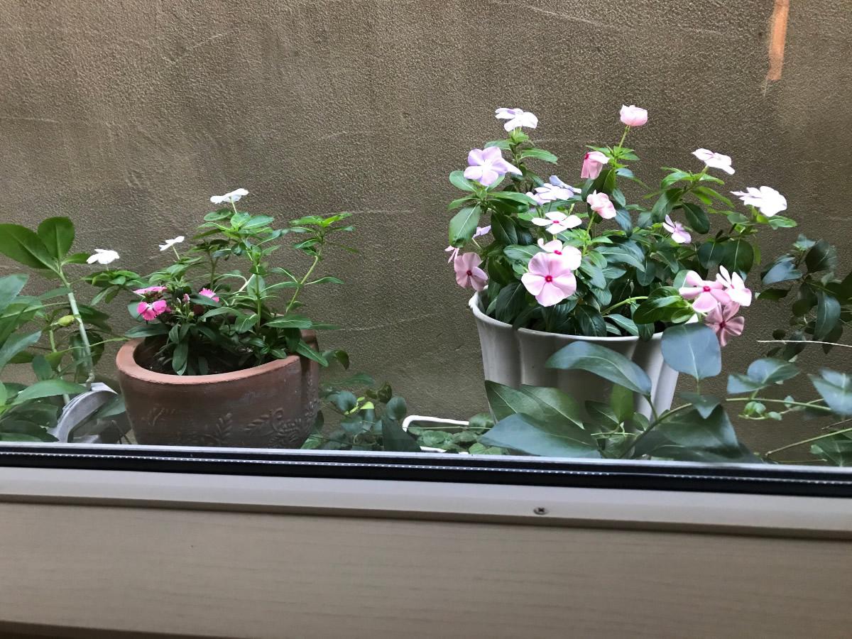 左チェア前 - 左の鉢にミニの日々草と撫子、白い鉢に日々草