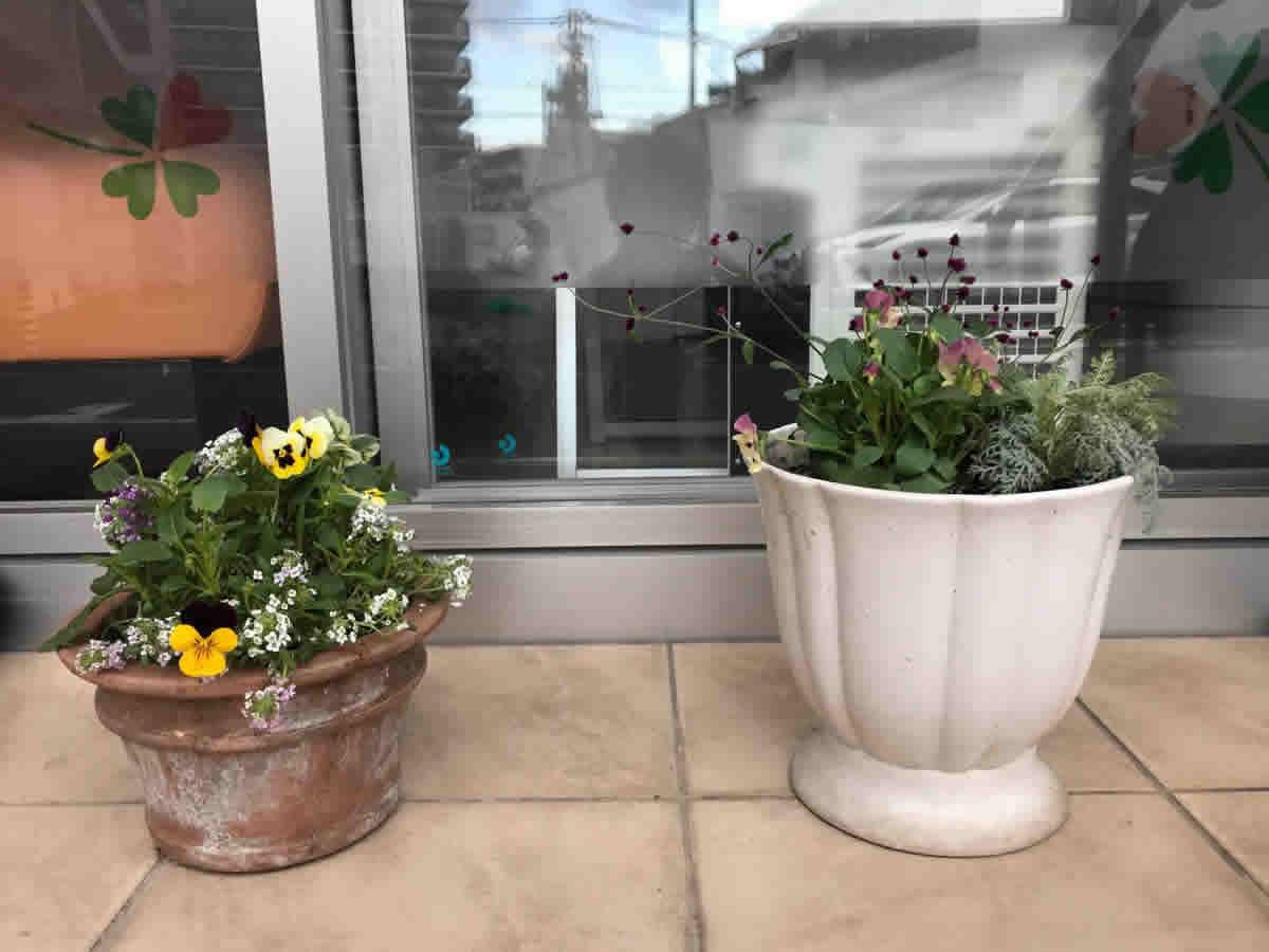 入口 - 左テラコッタ ビオラとアリッサムのミックス植え、右白の鉢 ビオラ「ももかおまつり」と シルバーレースと 小さな赤い花の千日紅「千紅花火」の寄植