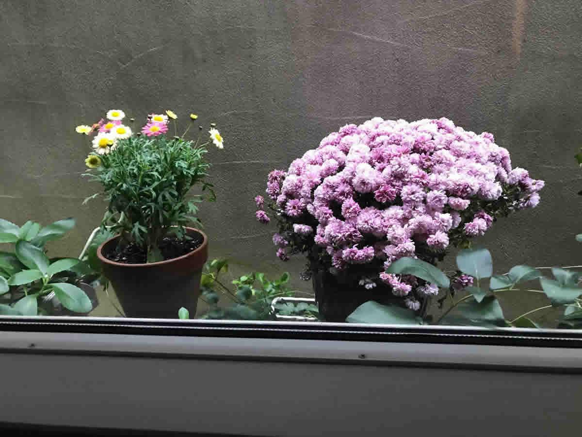1階右チェア前 - 左 カラフルな マーガレット「エンジェリック スイーツ」、右 ピンクの小菊
