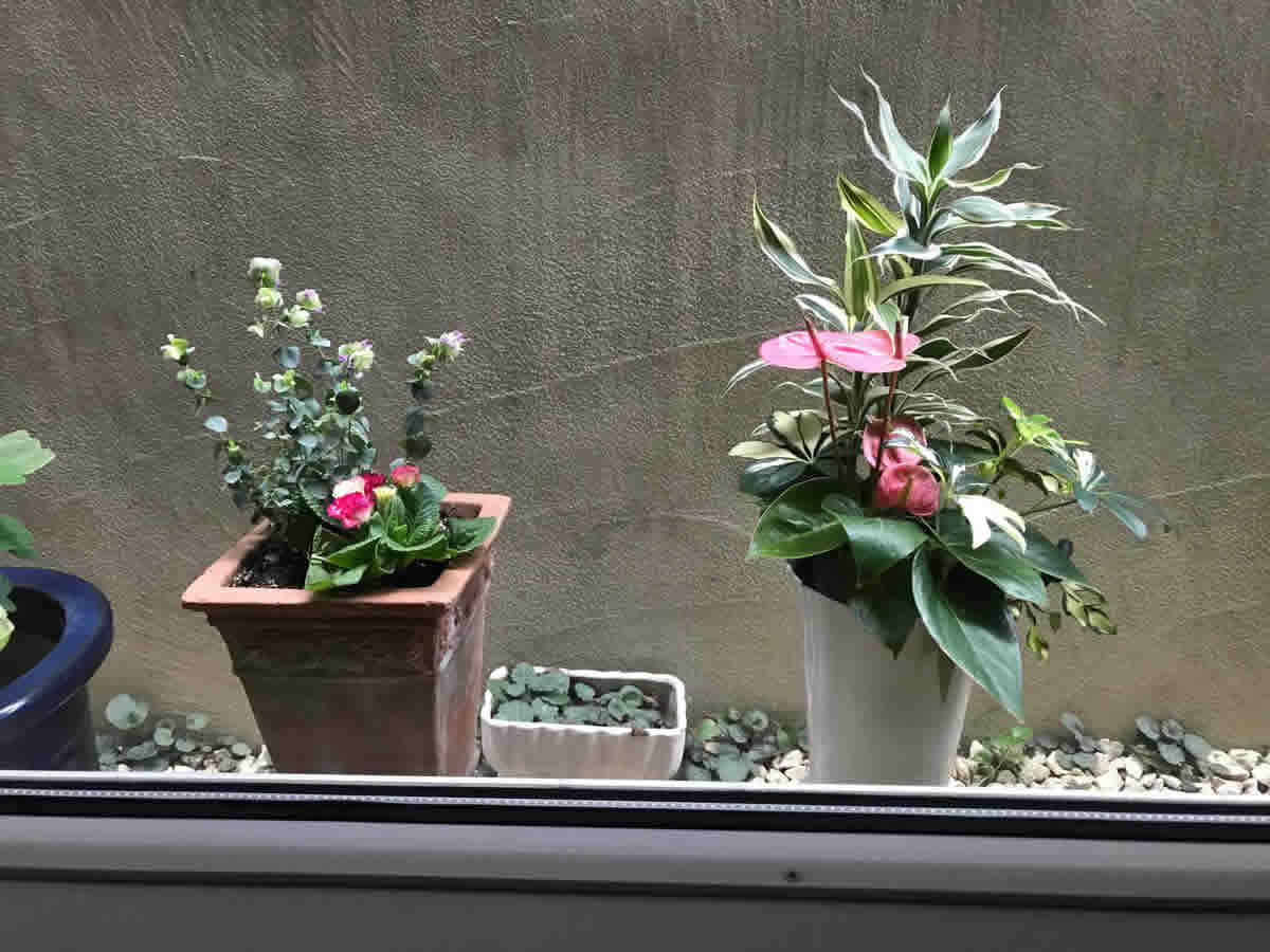 1階左チェア前 - 左 プリムラジュリアンアンジュ薔薇咲とオレガノ ケントビューティー、右 アンスリウム カポック ドラセナの寄植
