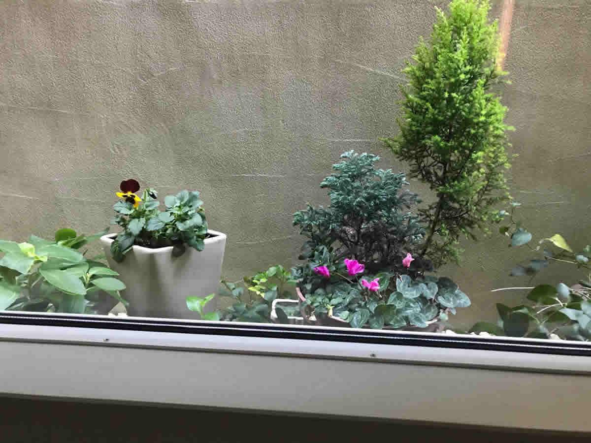 1階右チェア前 - ピンクシクラメンの寄植と パンジー