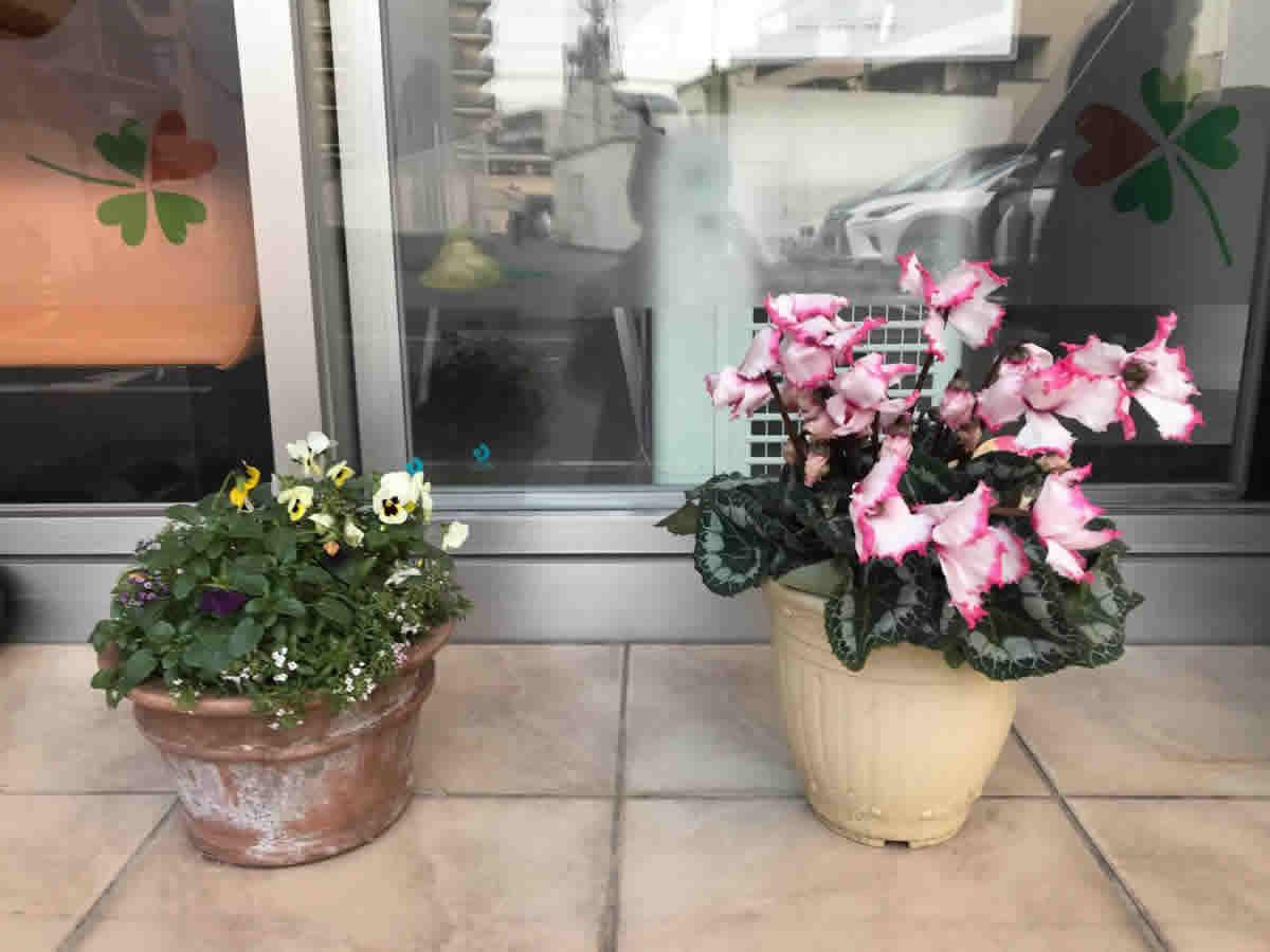左素焼鉢 - ビオラとアリッサムのミックス植。11月から咲いてくれています。右 - 濃い縁取りのシクラメン。
