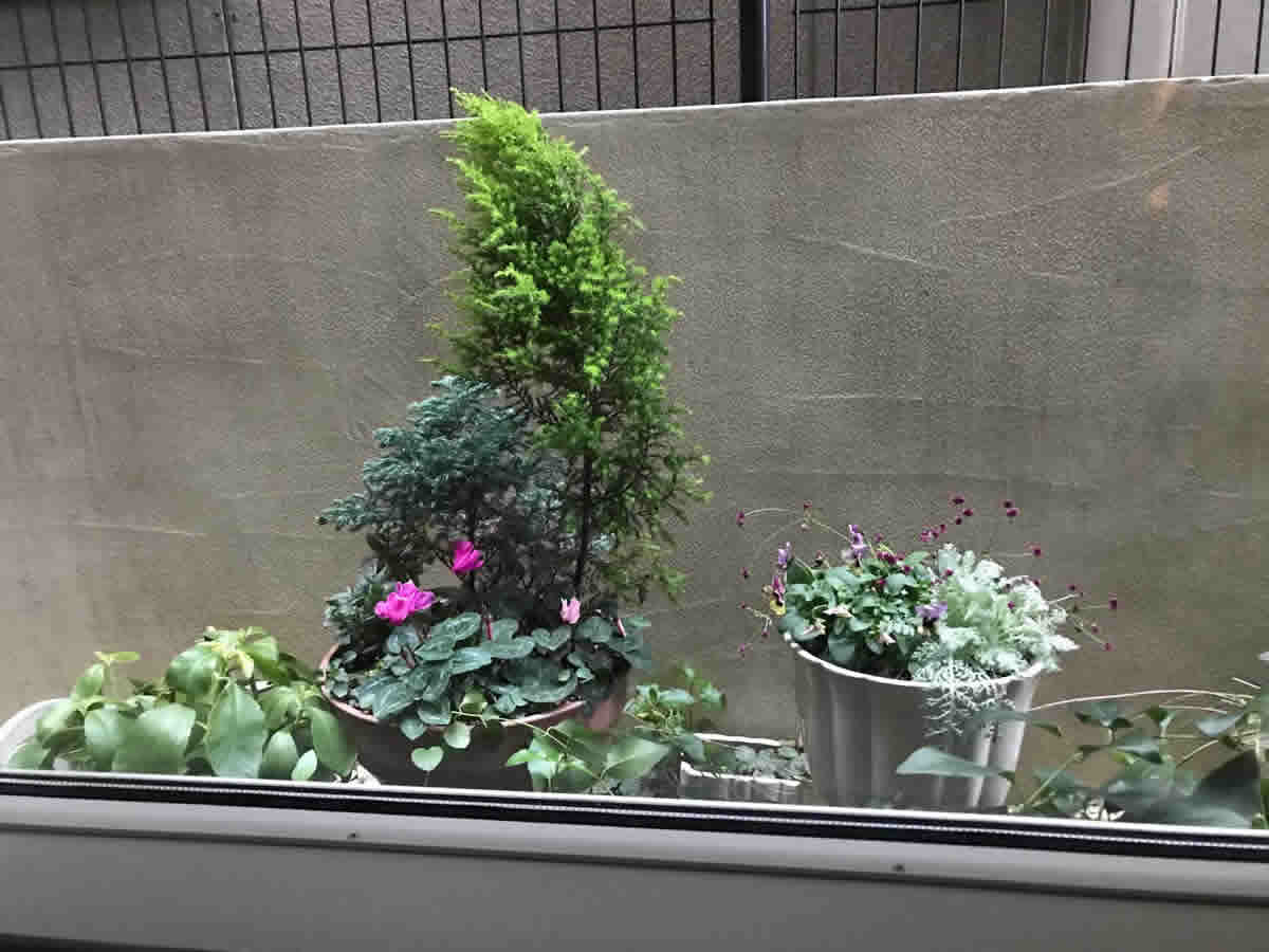 左端 - 葉から小さな芽を出す、幸せの「マザーリーフ」。初めは 1枚の葉を水に浮かべて育てました。中 - ゴールドクレスト、これは、一昨年から頑張ってくれています。シクラメン。右端白の陶器鉢 - ビオラ「ももかおまつり」、シルバーレース、千日紅の寄植。これも、11月から咲いてくれています。