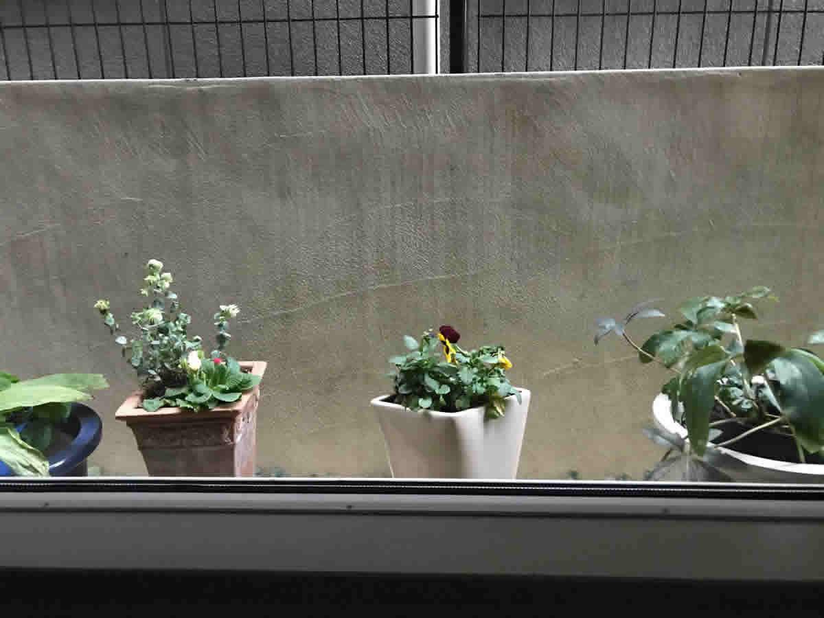 左端素焼鉢 - プリムラジュリアン アンジュ薔薇咲、オレガノ ケントビューティー。中陶器鉢 - パンジー。上の2つも11月から咲いてくれています。右端 - クリスマスローズは、蕾を持っていて咲くのが楽しみです。