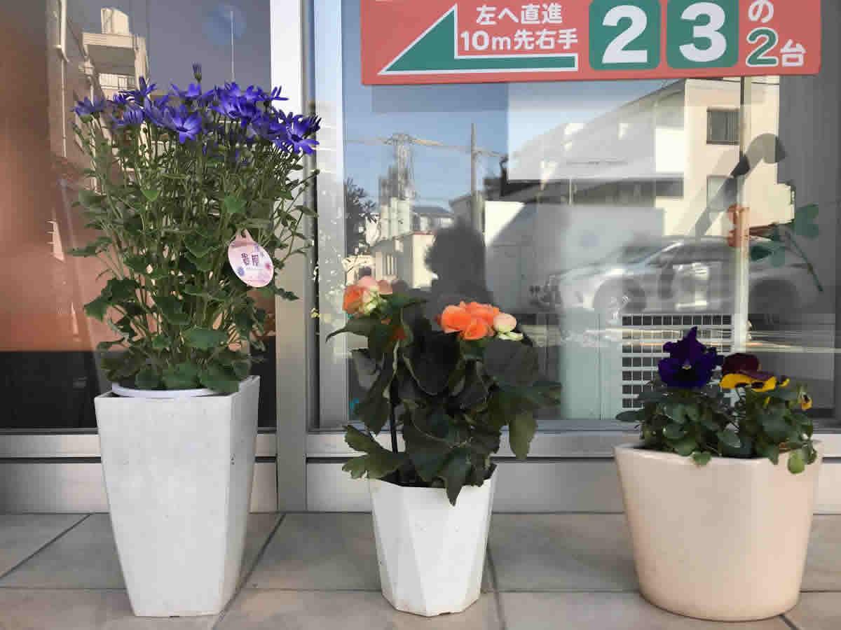 玄関前 - 左 サイネリア 貴凰 中 リーガスベゴニア 右 バンジー 年末から咲いてくれています