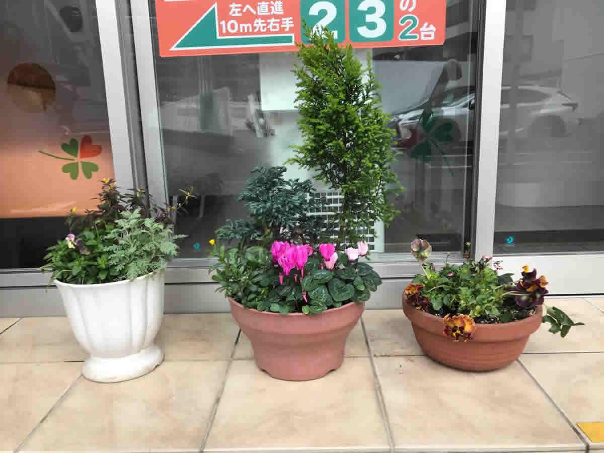 玄関 - 左 ビオラ「ももかおまつり」 シルバーレース カロライナジャスミン 中 ゴールドクレスト シクラメン 昨年のクリスマスから新しく芽吹きました 右 クモマグサ フリル