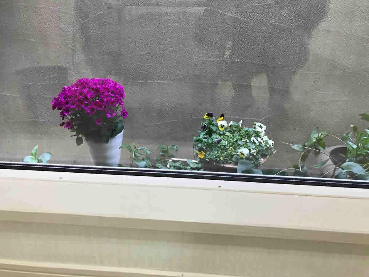 1階右チェア前 - 左 サイネリア 右 11月から咲いているビオラアリッサムのミックス植え