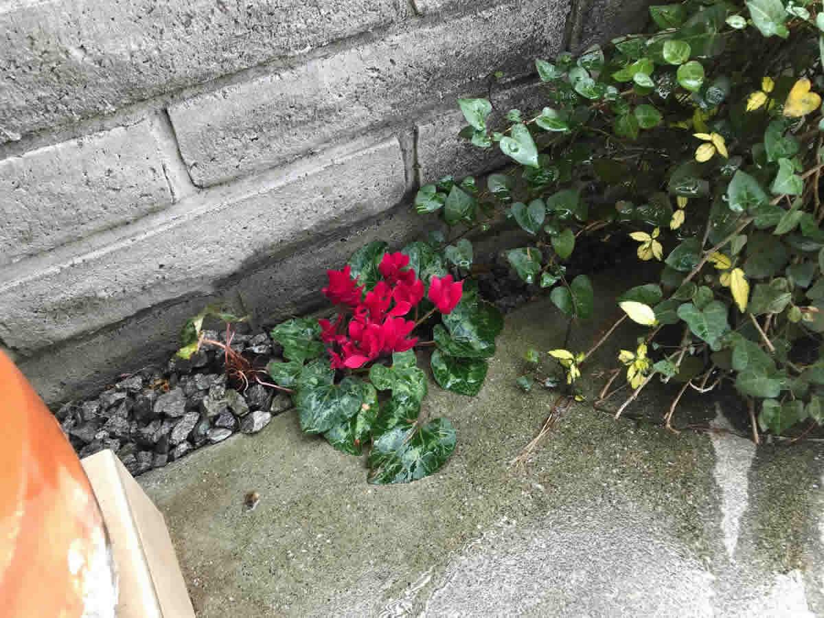 正面右手奥 - アイビーの大鉢の陰の小石の上に、今年もシクラメンが咲いてくれました