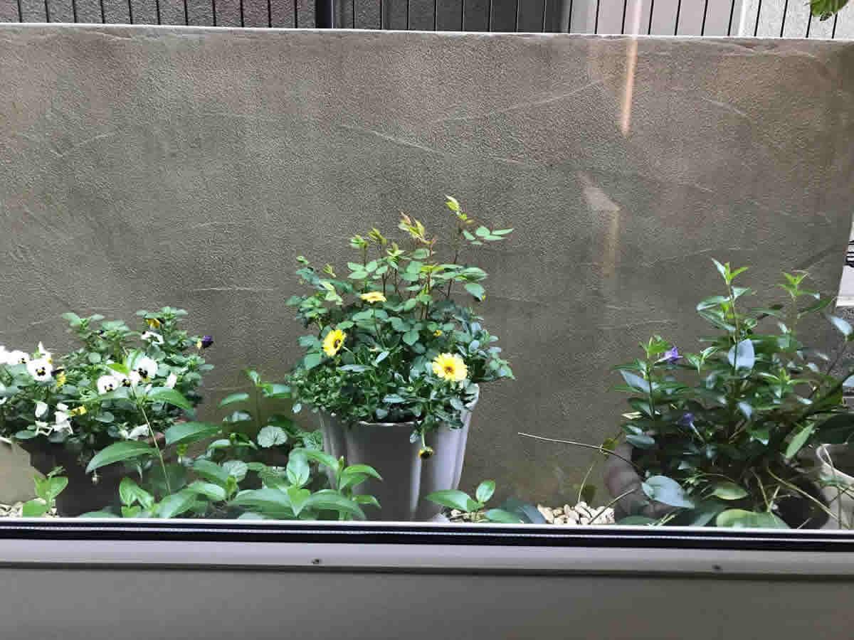 1階チェア前- 左 バンジーの寄植 中 薔薇とキク科のカレンジュラ レモンスフレ 右 蔓性の低木に小さな紫色の花が咲きました