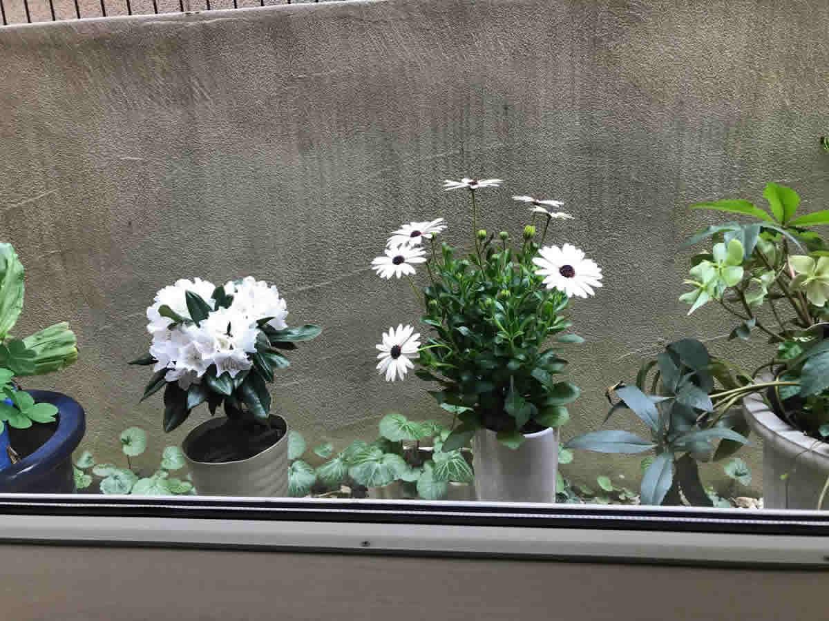 左チェア前 - 中央 きんせんか カレンデュラ、左 石楠花、右 クリスマスローズ