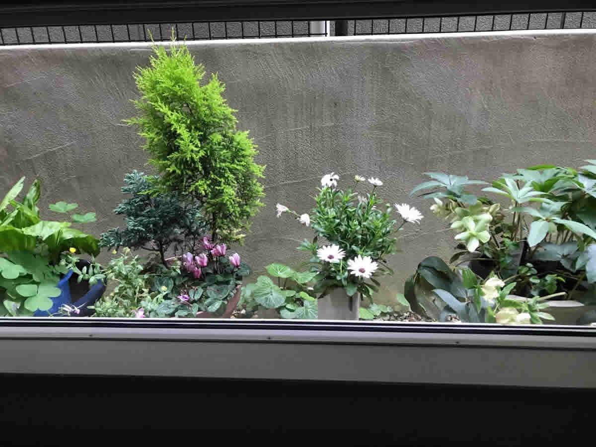 左チェア前 - 左 コニファー シクラメン キンセンカ、中 カレンジュラ レモンスフレ、右 薄桃と薄緑のクリスマスローズ、いずれも長く咲いてくれて