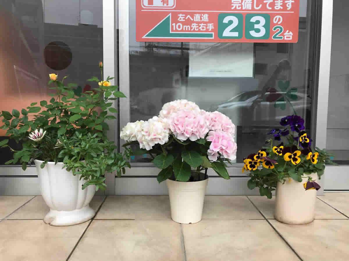 入口 - 左 去年の黄色の薔薇とガザニア、中 紫陽花 コットンキャンディー、右 何度も咲いてくれているパンジー