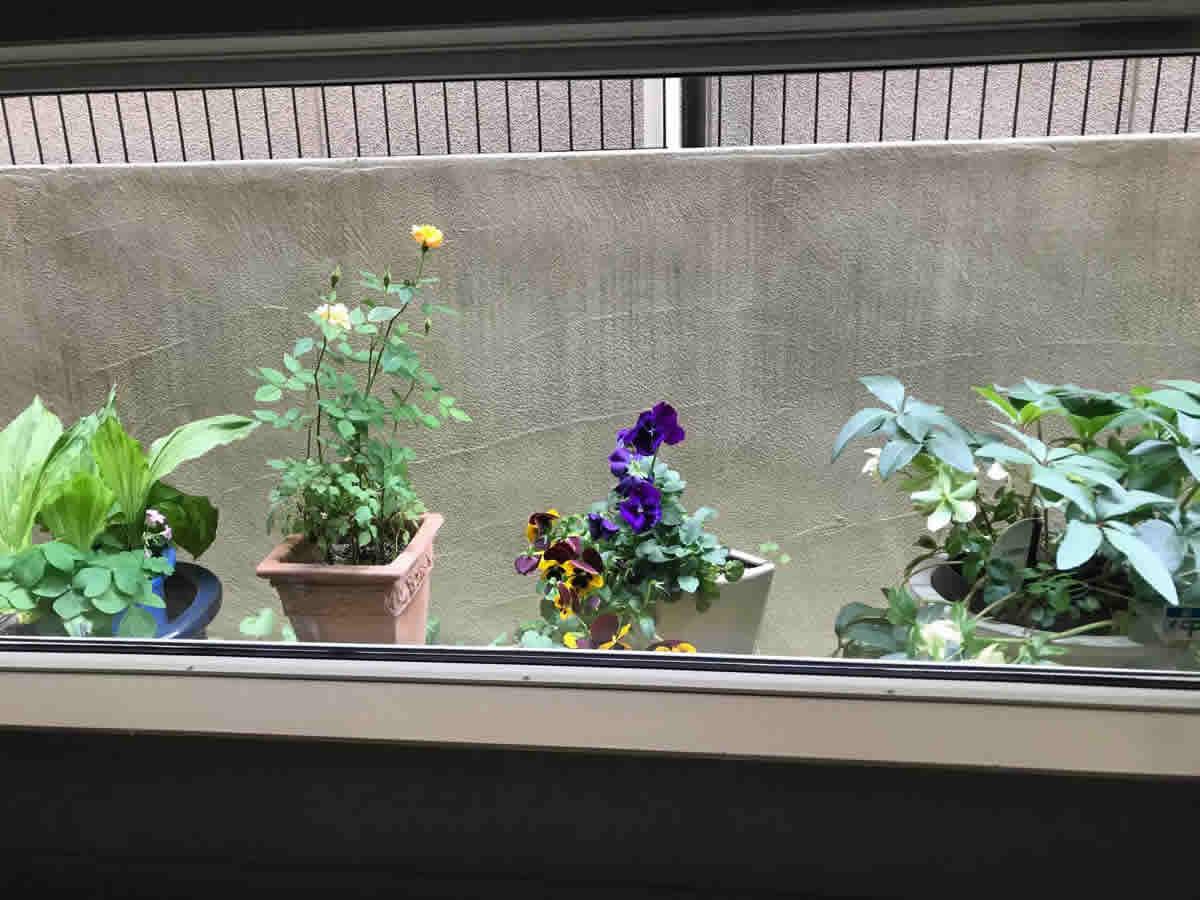 左チェア前 - 左端から、ギボウシの鉢にムラサキカタバミ。黄色の薔薇。紫と、黄とチョコレート色のパンジー。薄緑と薄桃のクリスマスローズ。どれも、去年から咲いてくれて…。