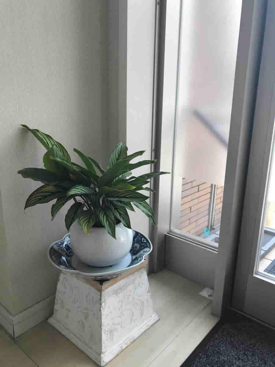 待合 - 緑の葉に白い線が爽やかな、カラテア ビッタタ