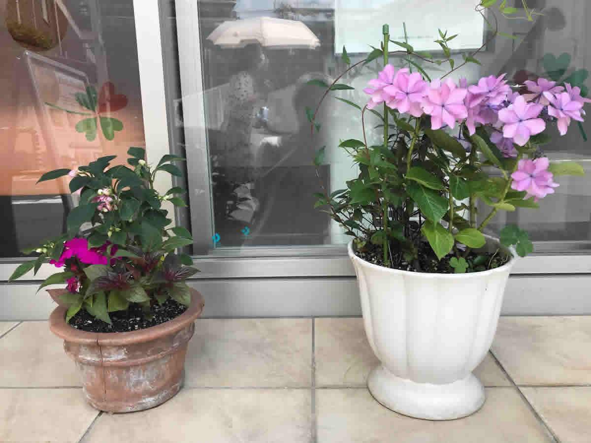 玄関 - 左 後ろ 薔薇咲インパチェンス フィエスタグランデ 左 サンパティオ パープル 右 サンパチェンス ブラッシュピンク 右 額紫陽花 後ろはカロライナジャスミン イエロートランペット