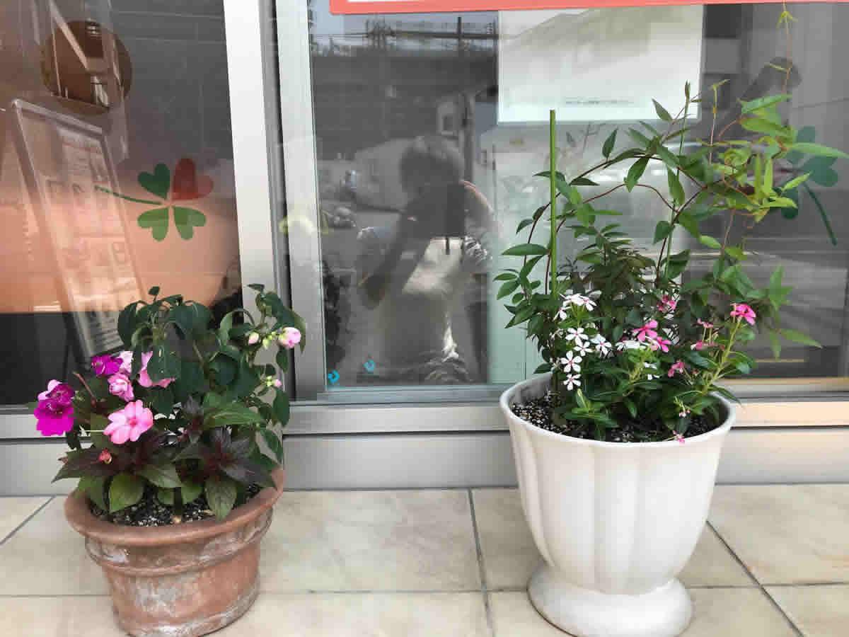 入口 - 左 後ろに薔薇咲きインパチェンス フィエスタグランデ、前左 サンパティオ パープル、右 サンパチェンス ブラッシュピンク、右 カロライナジャスミンの前に日々草 夏花火 ホワイトレッドアイとコーラル
