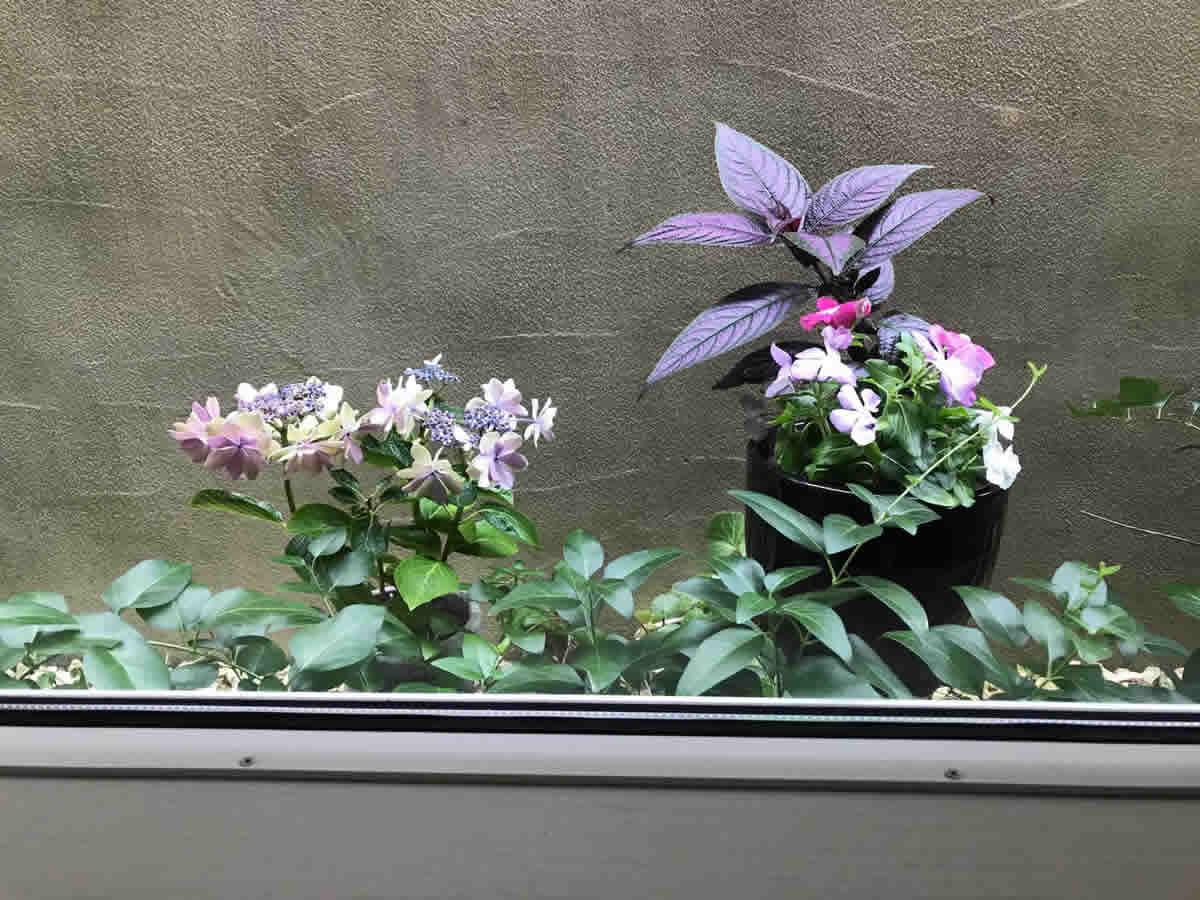 左チェア前 - 左 額紫陽花、右 ストロビランテス パープルプリンスと日々草混色植